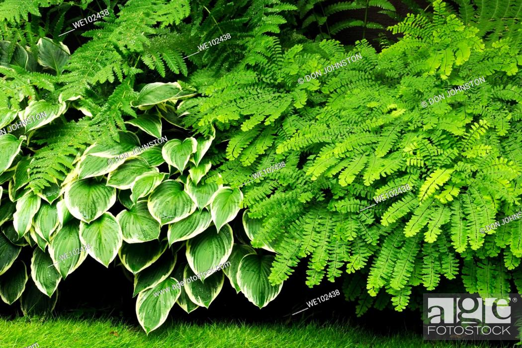 Stock Photo: Ferns and hosta.