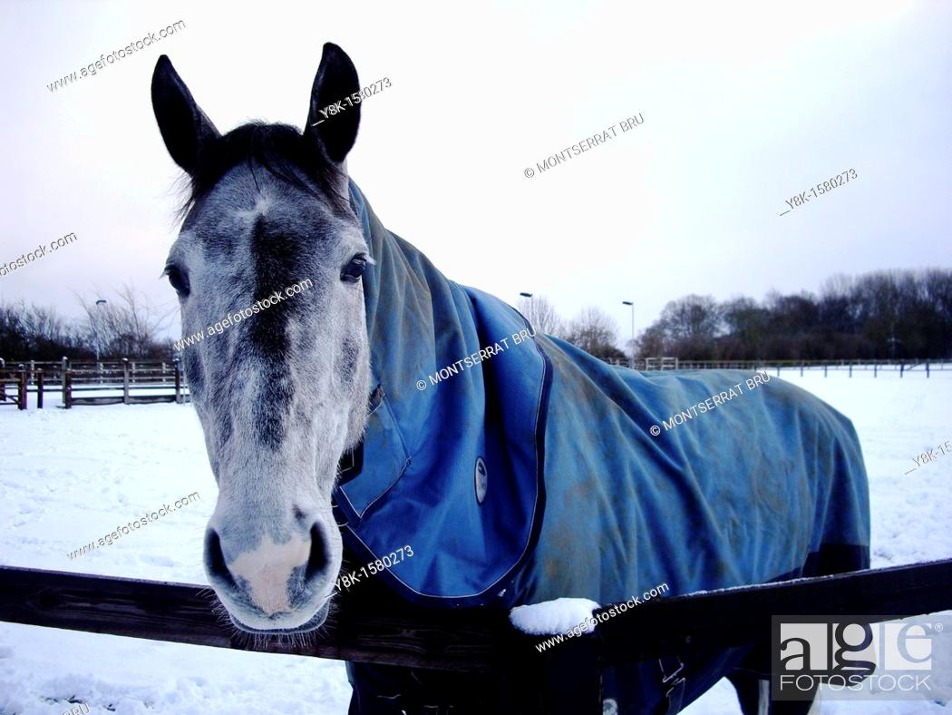 Stock Photo: Horse with blue coat and snow.