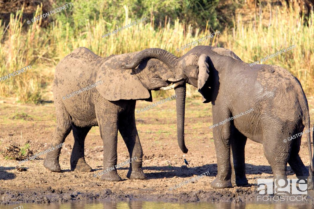 Stock Photo: African Elephant (Loxodonta africana), in the river, Kruger National Park, South Africa.