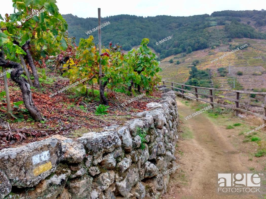 Stock Photo: Track across the 'Mencía' variety vineyards in autumn, and Belesar in background, Chantada municipality, Ribeira Sacra, Lugo, Spain.