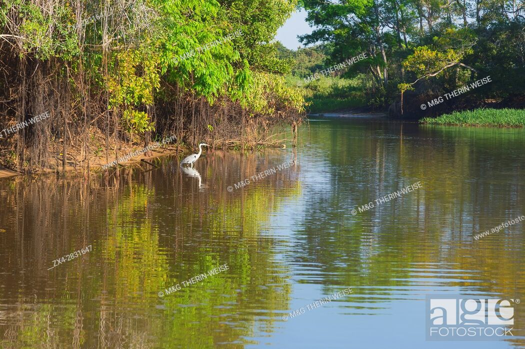 Imagen: White-Necked Heron (Ardea cocoi) on the Cuiaba river, Pantanal, Mato Grosso State, Brazil.