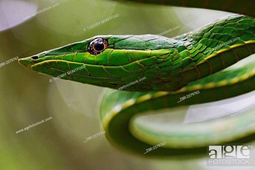 Stock Photo: Oxybelis fulgidus. Portrait of a vinesnake. French Guiana.
