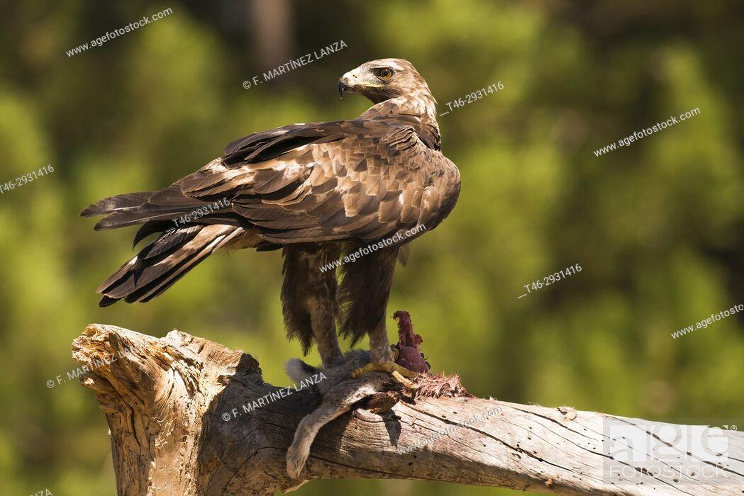 Imagen: Golden eagle (Aquila chrysaetos). Photographed in the Natural Park Valle de Iruelas Avila.