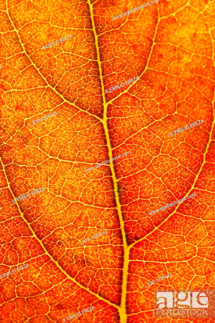 Stock Photo: Persimmon leaf in autumn  Dyospiros kaki.