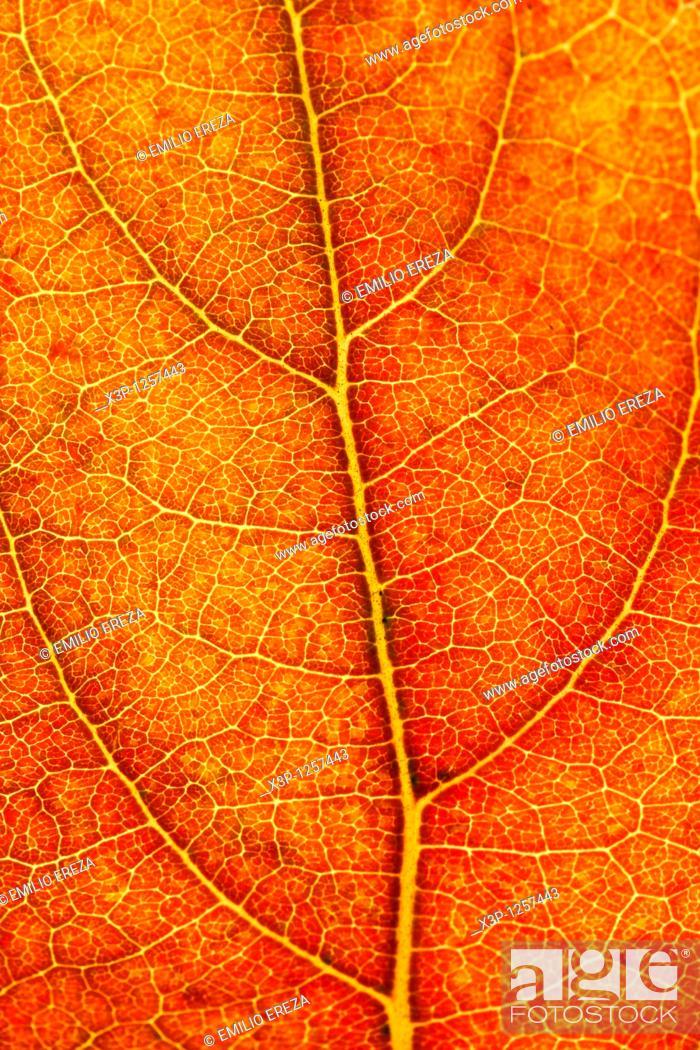 Stock Photo: Persimmon leaf in autumn  Dyospiros kaki.