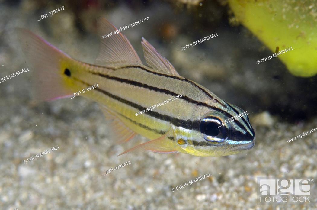 Stock Photo: Juvenile Spotgill Cardinalfish (Ostorhinchus chrysopomus), Rusak Gigi dive site, Padar Island, Komodo National Park, Indonesia.