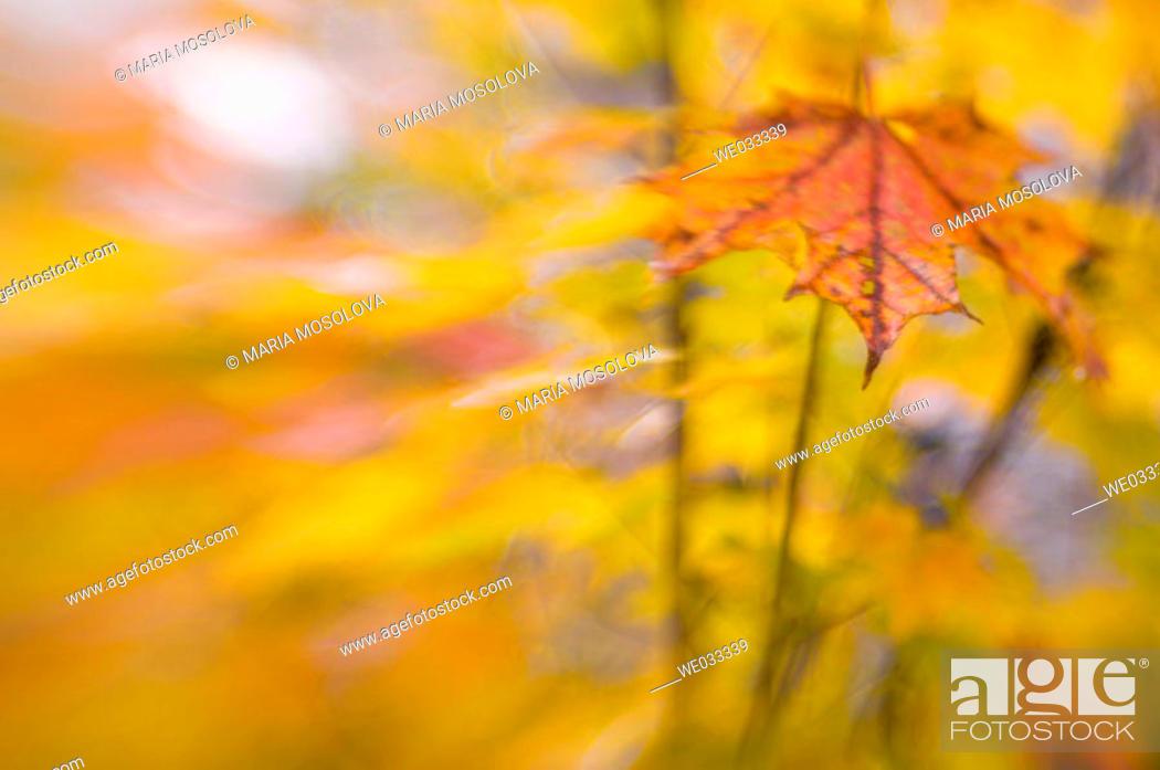 Stock Photo: Sugar Maple (Acer saccharum).
