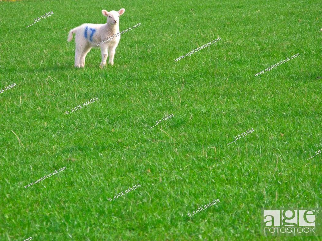 Stock Photo: Marked lamb standing in field of grass.