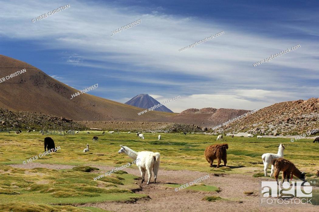 Photo de stock: Chile, South America, Llamas, Lama glama, Machuca near San Pedro de Atacama, Altiplano, Antofagasta, landscape, South.