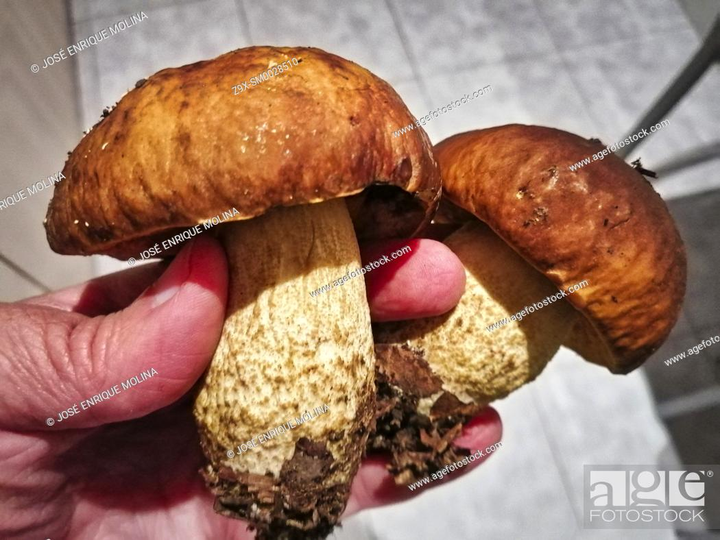 Stock Photo: Boletus Edulis, edible mushrooms, Barcelona, Catalonia, Spain, Europe.