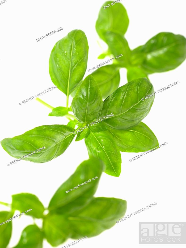 Stock Photo: Basil leaves.