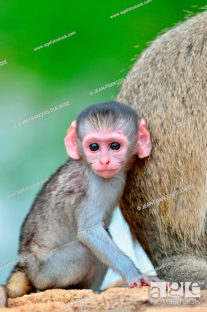 Stock Photo: Vervet monkeys, Cercopithecus aethiops, adult and male baby, Kruger National Park, South Africa.