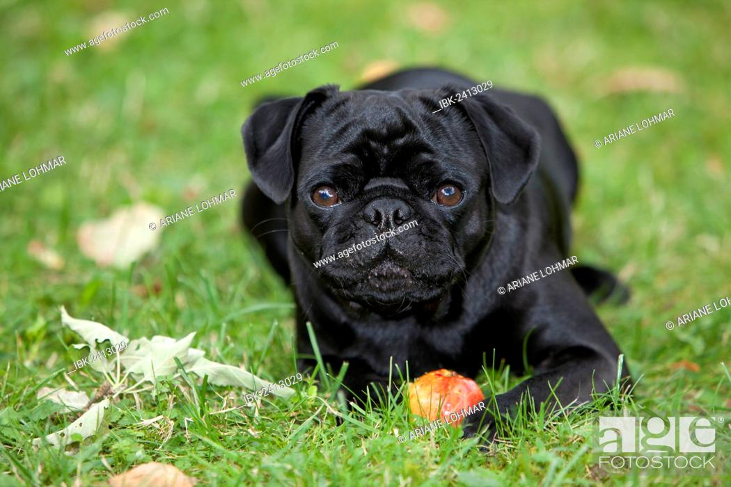 Black Pug Lying On The Grass And Eating An Apple Stock Photo