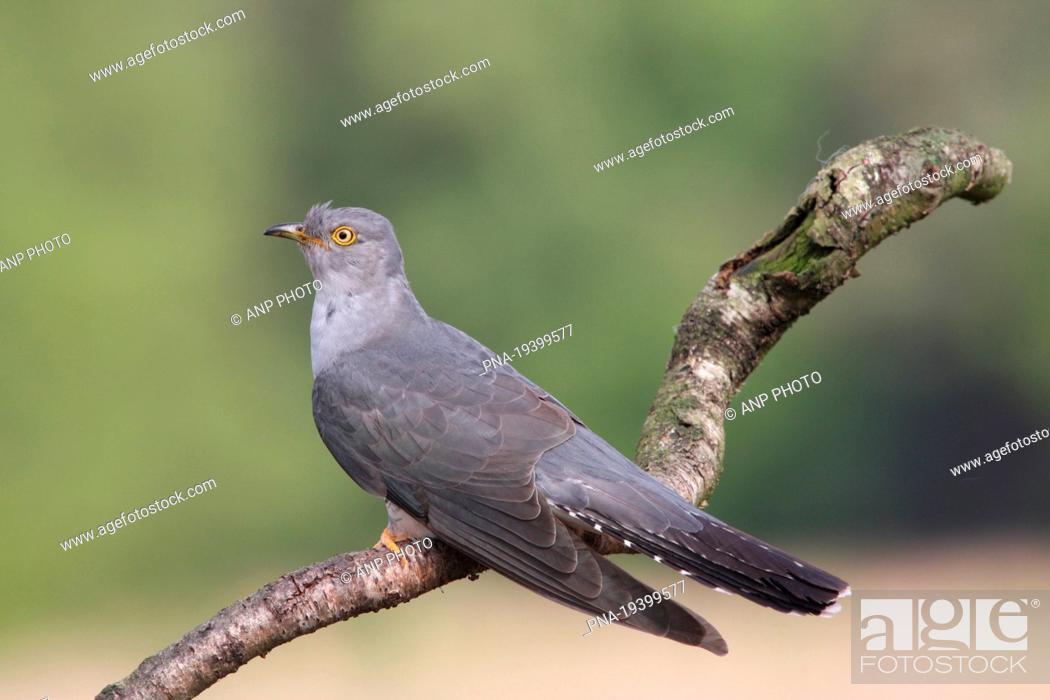 Stock Photo: Common Cuckoo Cuculus canorus - Wierdense veld, Nijverdal, Twente, Overijssel, The Netherlands, Holland, Europe.