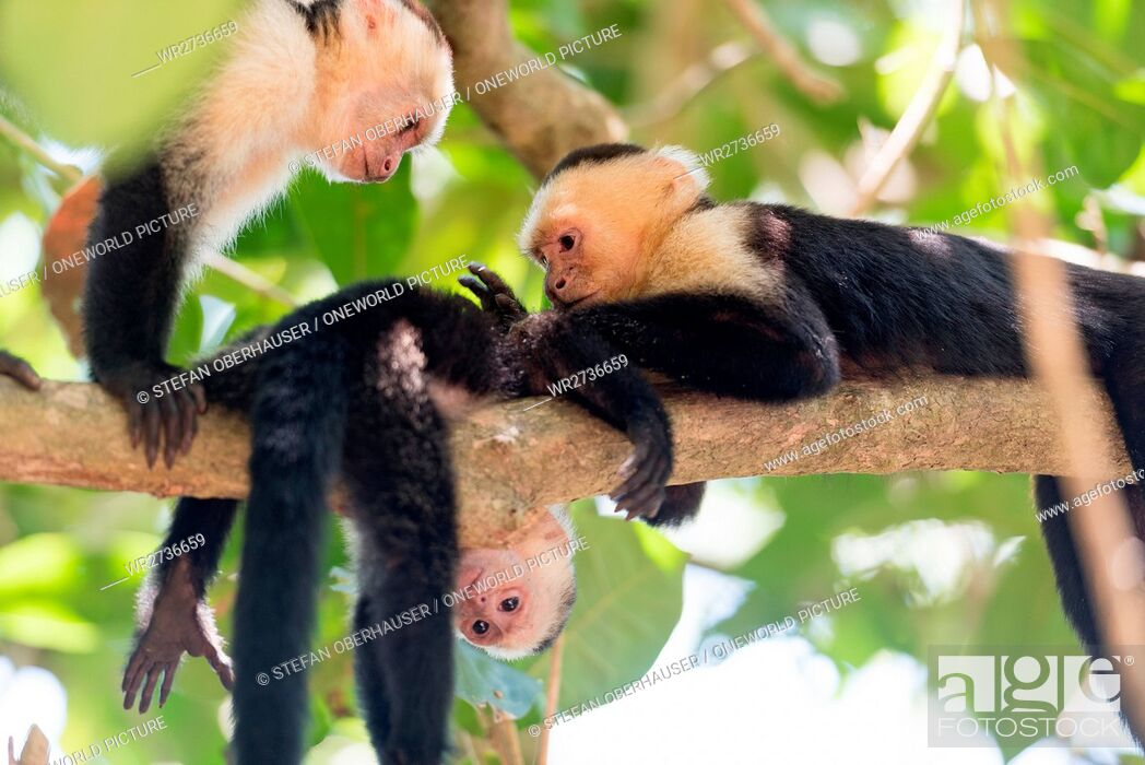 Stock Photo: Costa Rica, Puntarenas, Quepos, Manuel Antonio National Park, White-faced capuchin monkey with louse on a tree, White-faced capuchin monkey - Cebus capucinus.