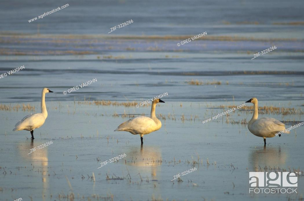 Stock Photo: Tundra swans at Lower Klamath National Wildlife Refuge, on the Oregon-California border.