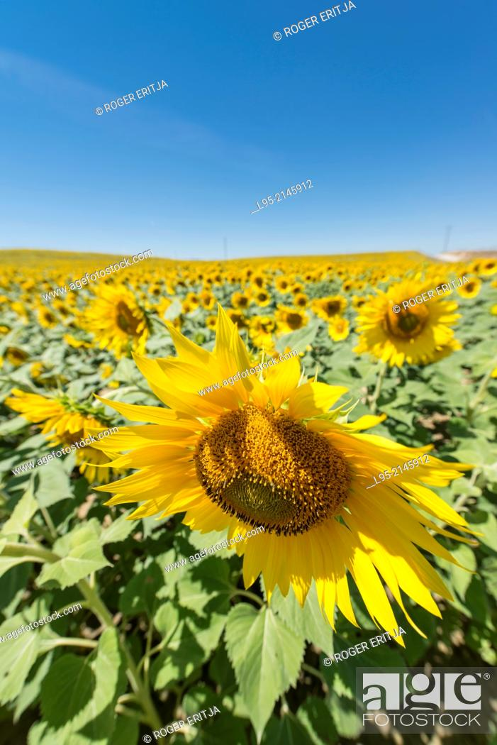 Stock Photo: Huge field cultivated with sunflower for oil, production, Spain.