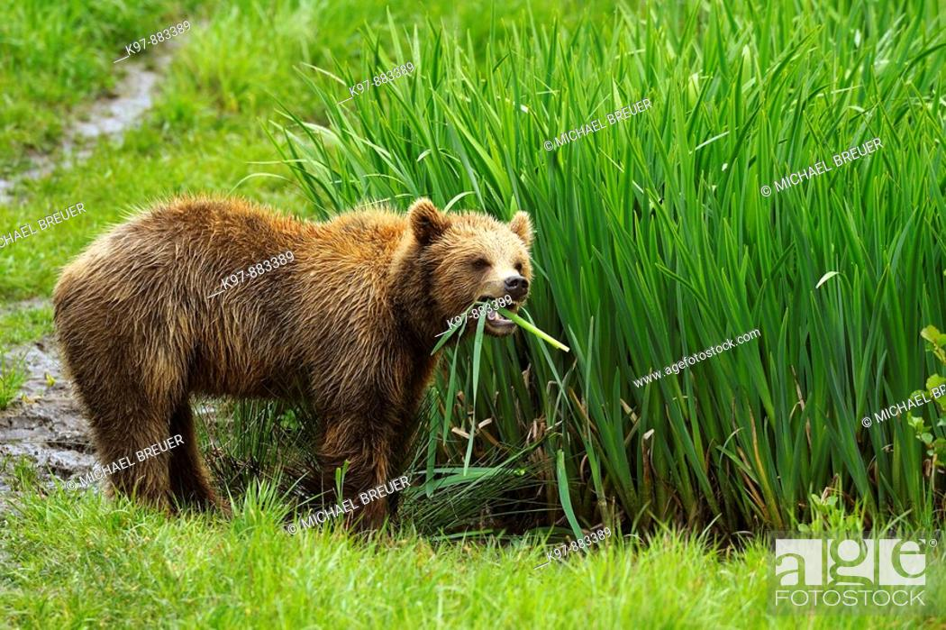 Stock Photo: European brown bear, Bavaria, Germany.