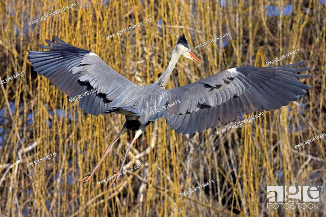 Stock Photo: grey heron Ardea cinerea, flying, Germany, Baden-Wuerttemberg.