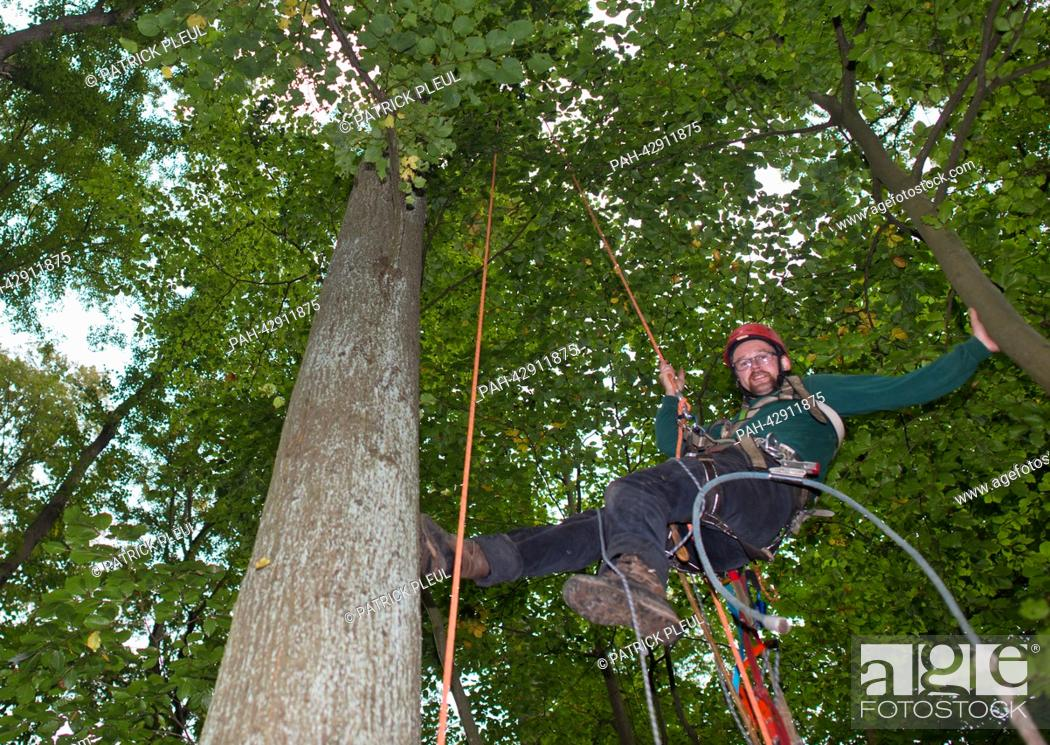 Stock Photo: Cone picker Stefan Teschke climbs up into a Small-leaved Lime (lat: Tilia cordata) in the city forest in Prenzlau, Germany, 23 September 2013.