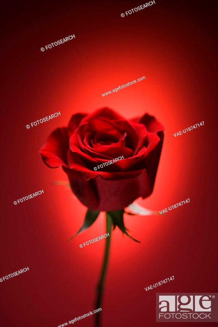 Stock Photo: Single long-stemmed red rose against glowing red background.