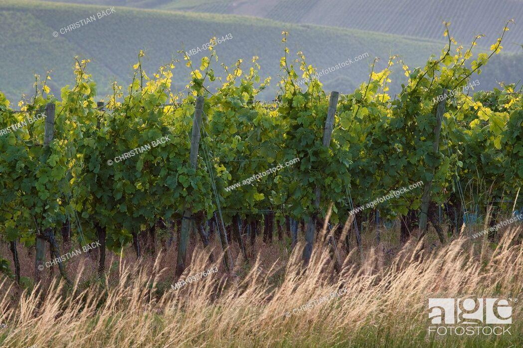 Stock Photo: Vines in the Volkacher Main loop, Volkach, Lower Franconia, Franconia, Bavaria, South Germany, Germany,.