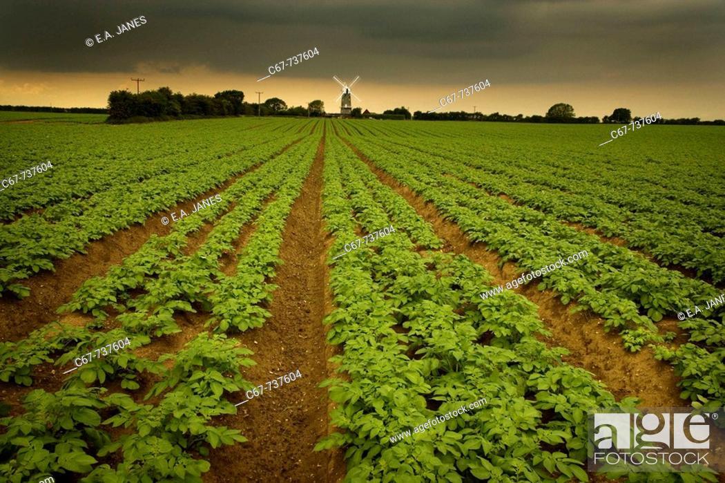 Stock Photo: Bircham Mill & Potato field North Norfolk June.