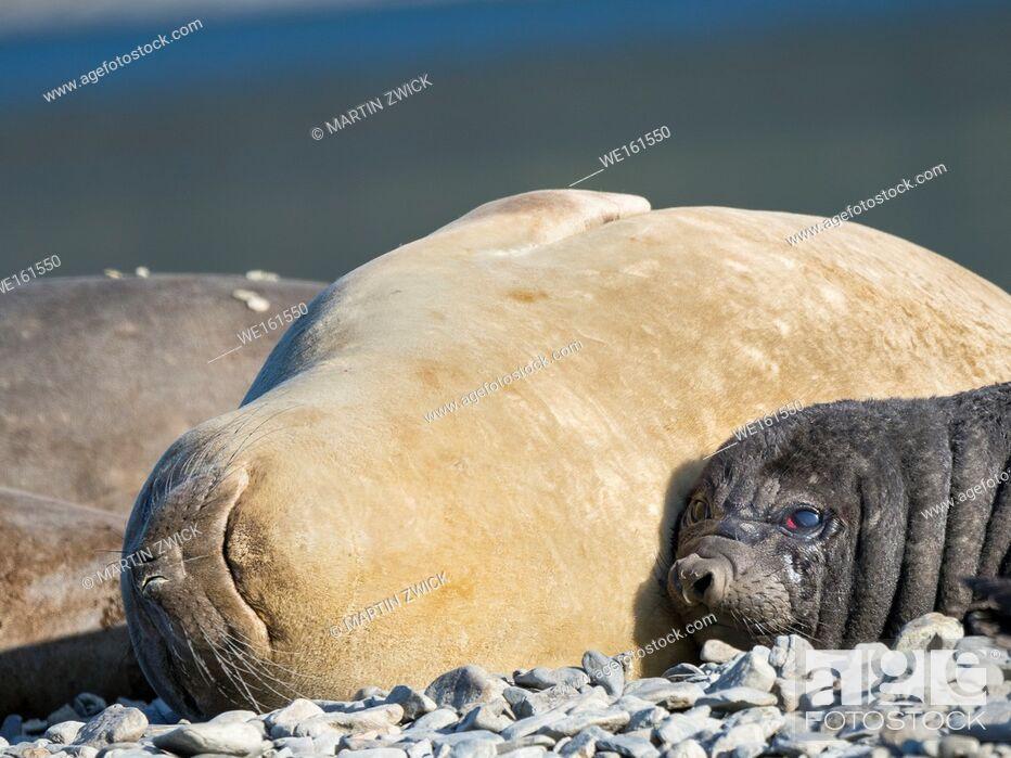 Imagen: Southern elephant seal (Mirounga leonina), female with pup on beach. Antarctica, Subantarctica, South Georgia, October.