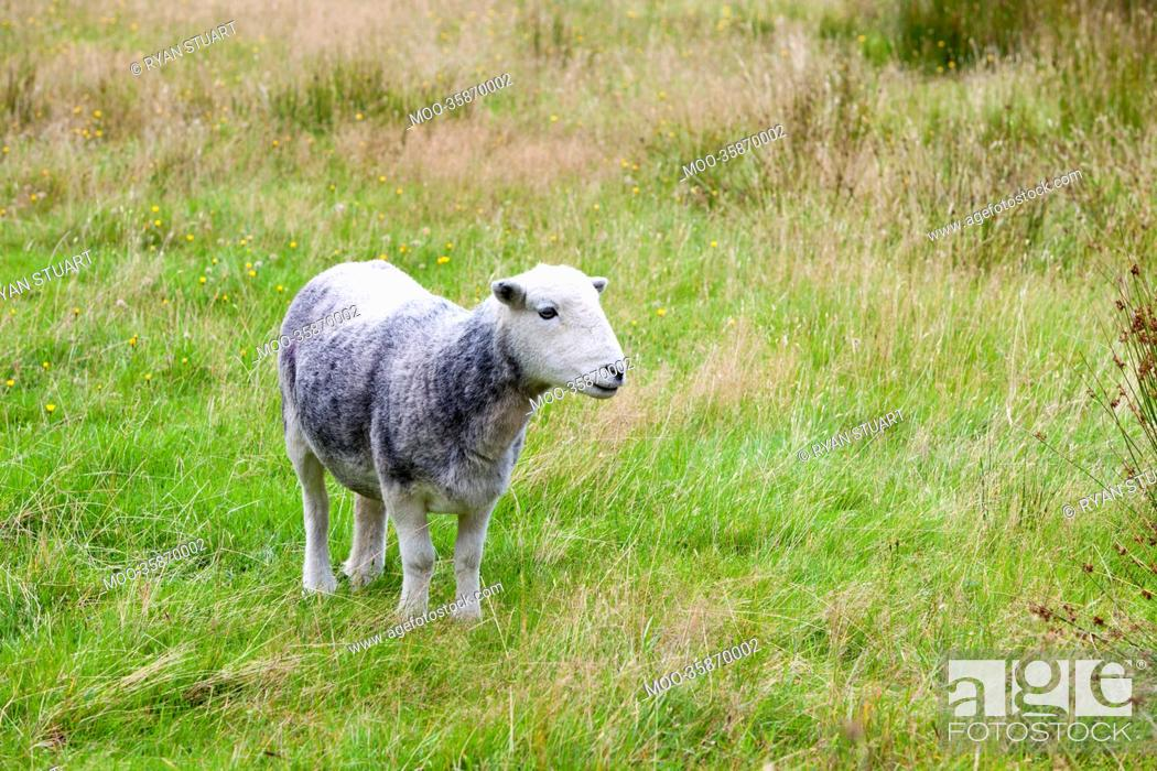 Stock Photo: Young sheep on pastured land.