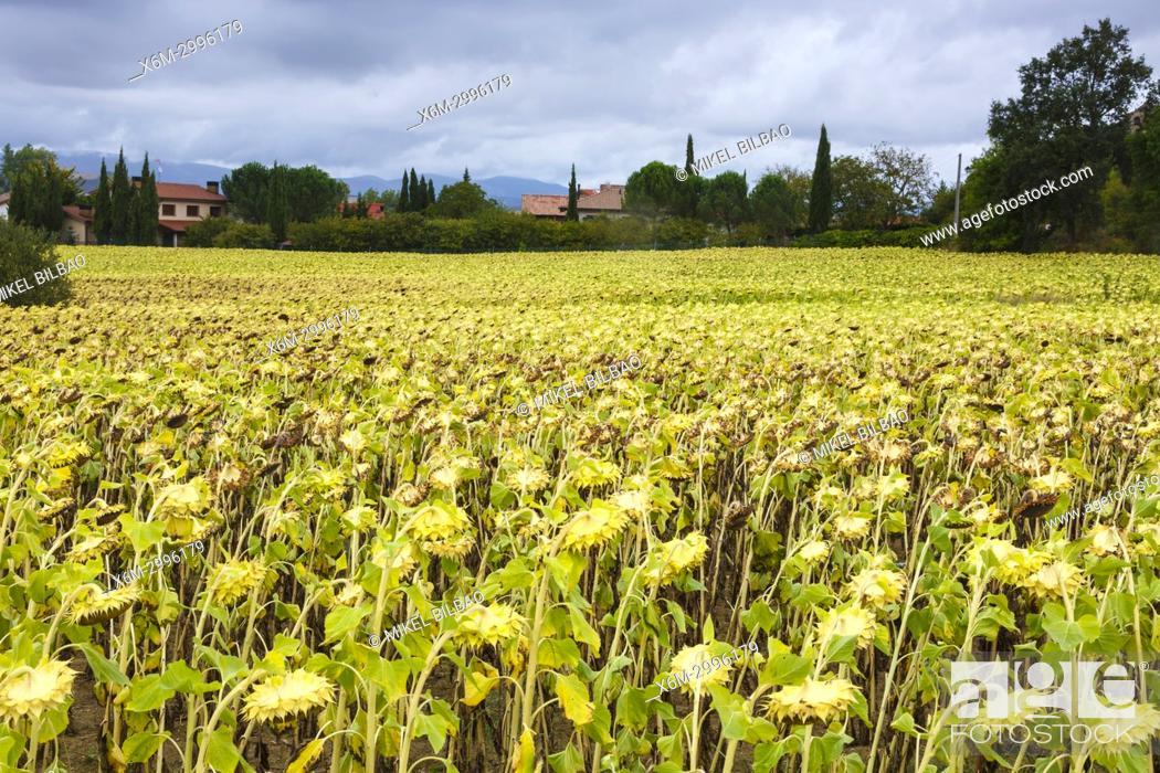 Stock Photo: Sunflowers (Helianthus annuus) crop. Trokoniz, Iruraiz-Gauna. Cuadrilla de Salvatierra. Alava, Basque Country, Spain, Europe.