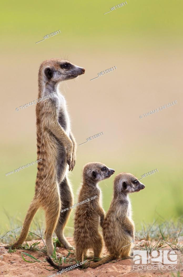 Stock Photo: Suricate (Suricata suricatta). Also called Meerkat. Adult with two young on the lookout. During the rainy season in green surroundings.
