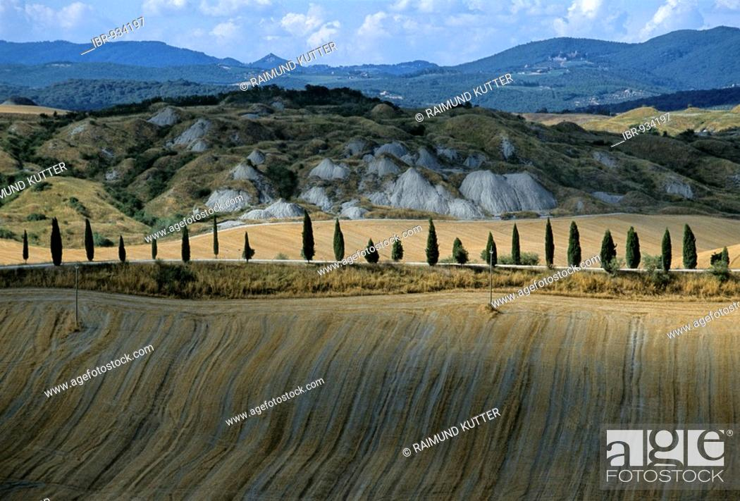 Stock Photo: Cyprus alley running through harvested wheat fields, Le Crete near Pievina, Siena Province, Tuscany, Italy, Europe.