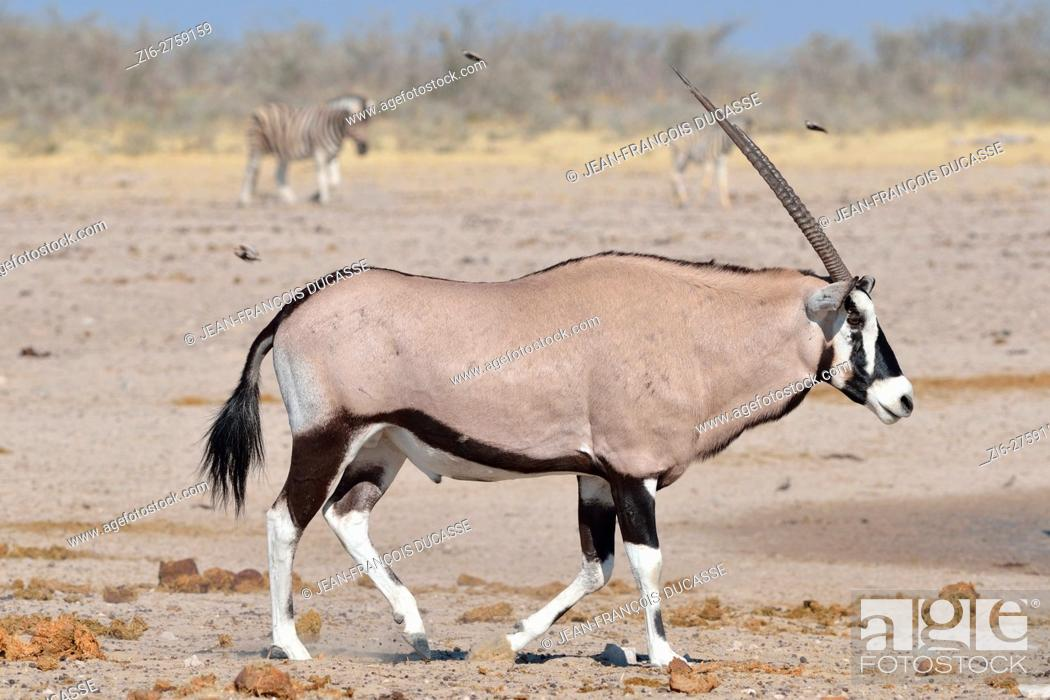 Stock Photo: Gemsbok (Oryx gazella) walking on arid ground, two Burchell's zebras (Equus quagga burchellii) behind, Etosha National Park, Namibia, Africa.