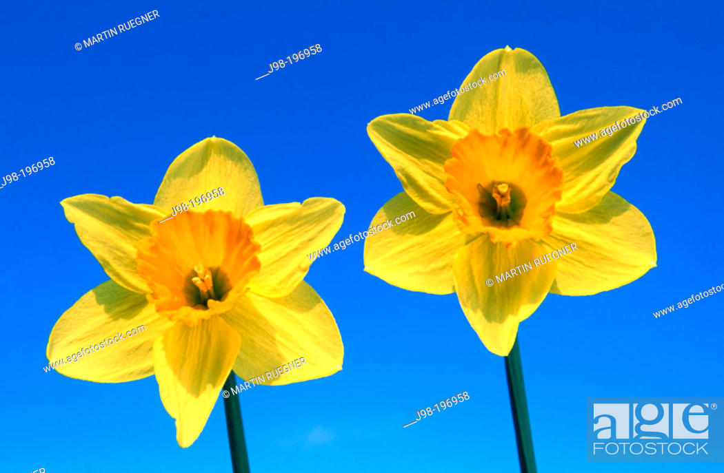 Stock Photo: Narcissus (Narcissus sp.).