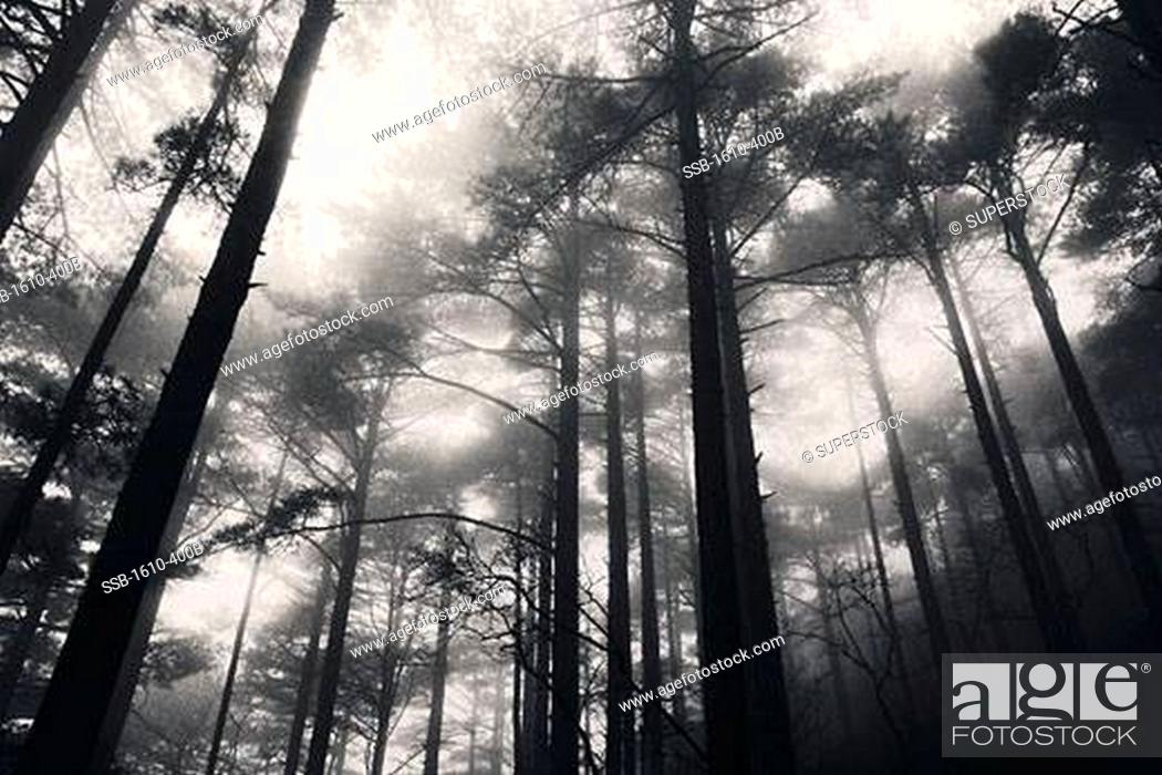Stock Photo: Low angle view of trees in a forest, Yellow Mountains, Huangshan, China.