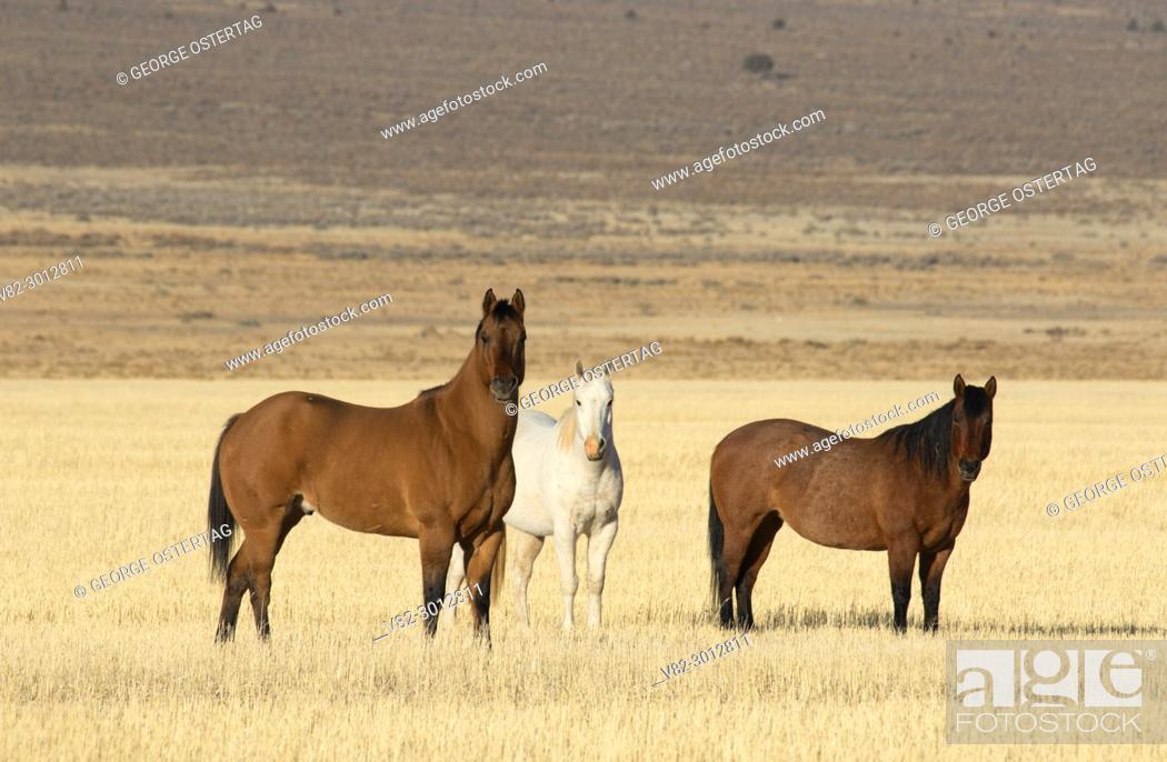 Stock Photo: Horses in Cedar Valley, Utah County, Utah.