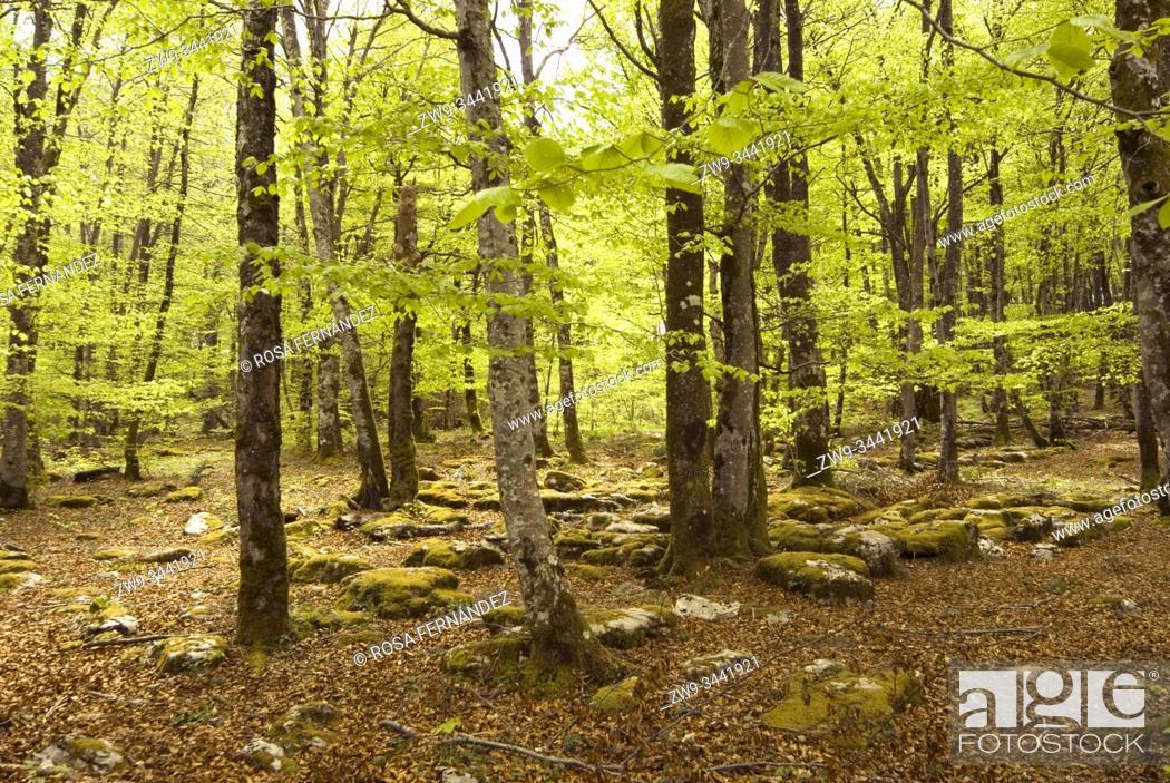 Photo de stock: Beech forest, Monte Santiago Natural Park, Las Merindades County, province of Burgos, Castilla y Leon, Spain.