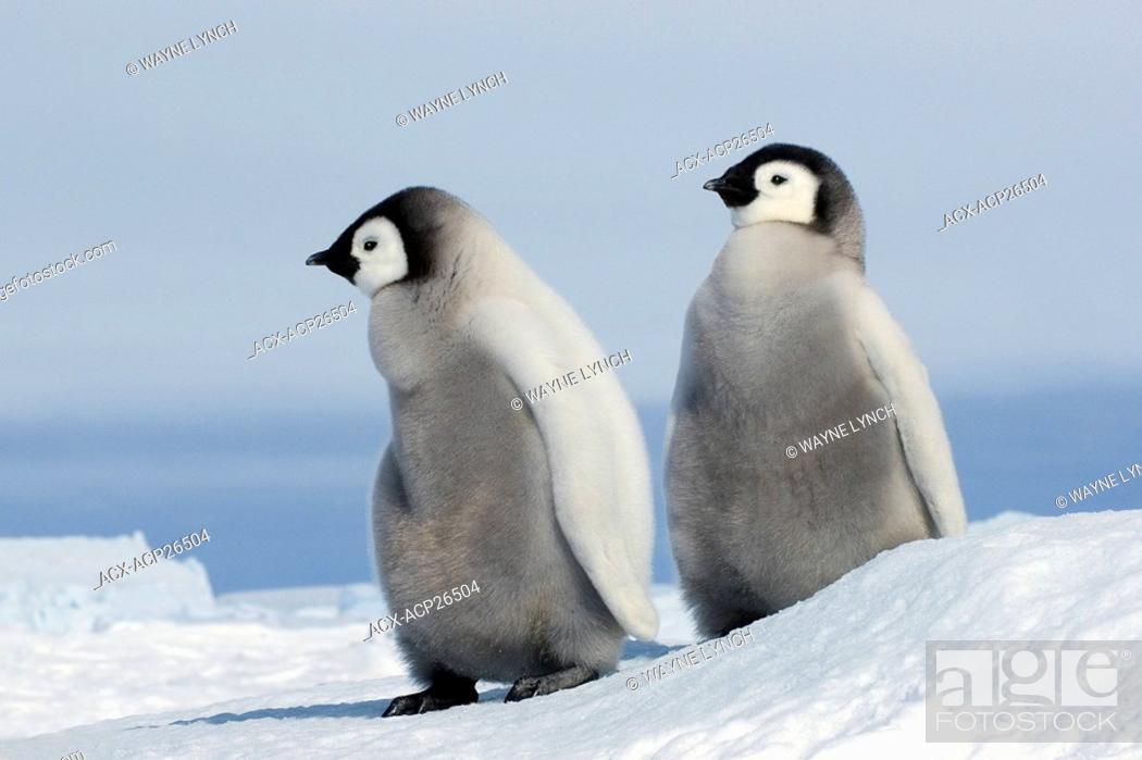 Stock Photo: Young emperor penguin Aptenoytes forsteri chicks, Snow Hill Island, Weddell Sea, Antarctica.