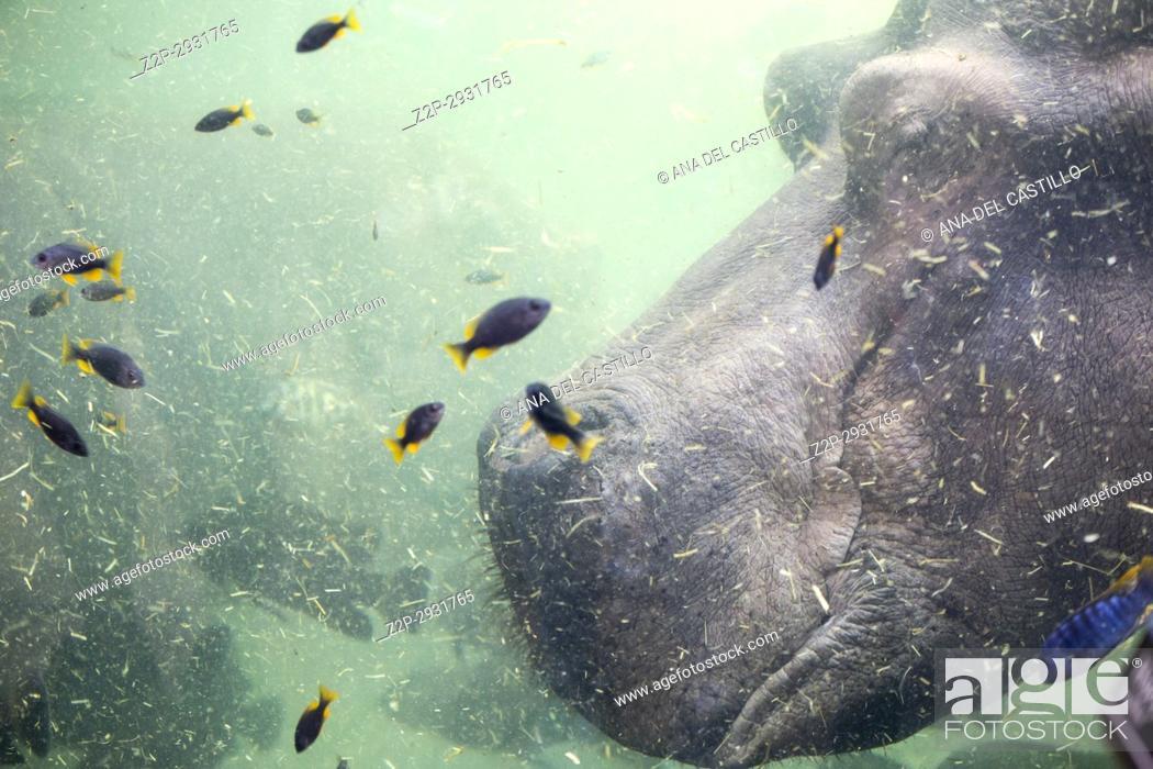 Stock Photo: Hippopotamus underwater image.