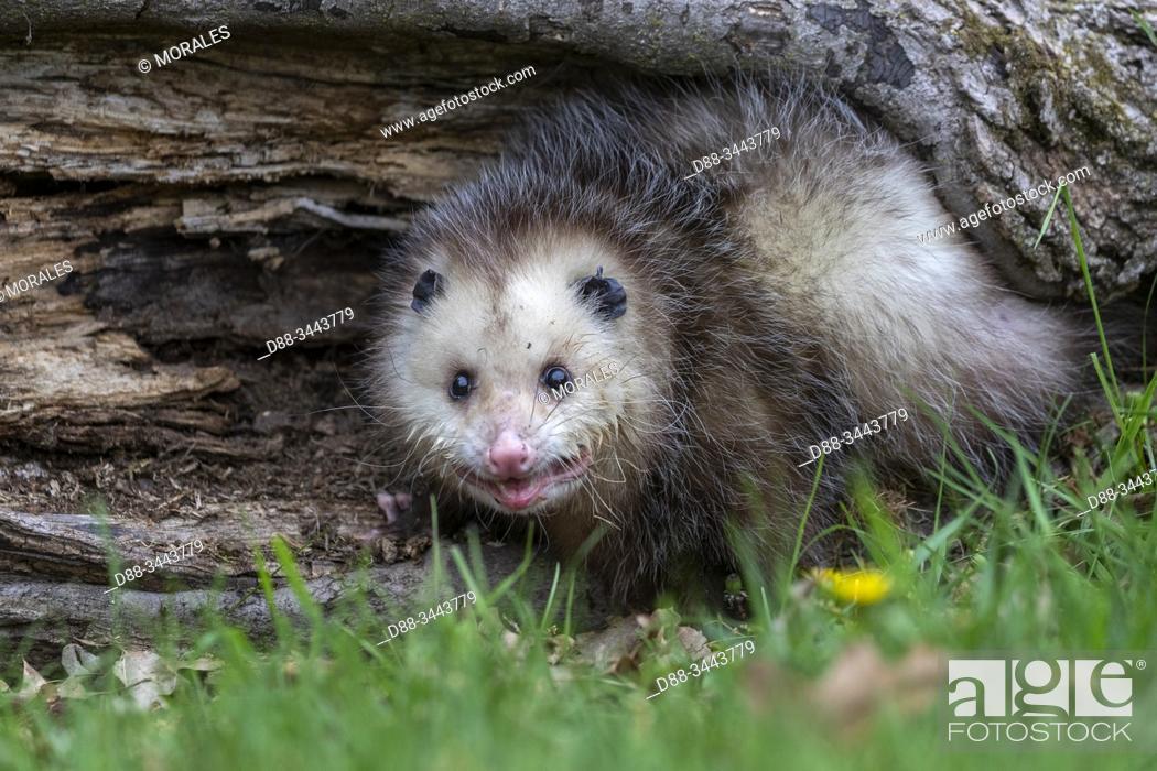 Stock Photo: : Etats-Unis, Minnesota , Opossum de Virginie, Opossum d'Amérique, Sarigue d'Amérique du Nord, Sarigue de Virginie ou Opossum d'Amérique du Nord (Didelphis.