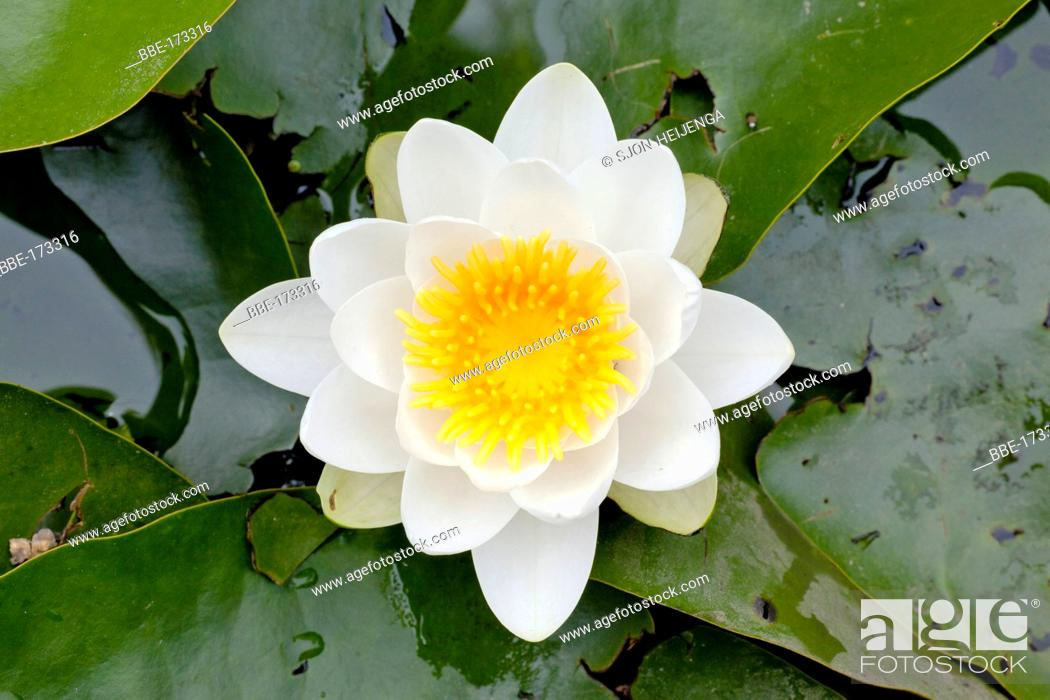 Stock Photo: In all weatherconditions the white yellow of the large White Waterlily flowers display a marvelous light display.