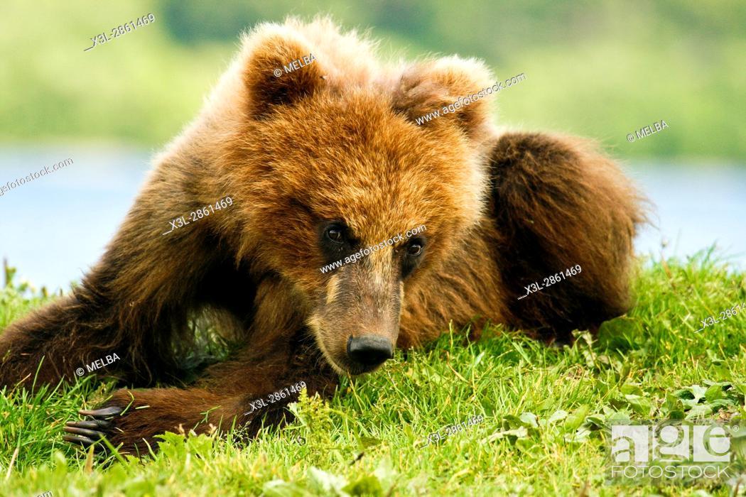 Stock Photo: Brown Bear cub (Ursus arctos) in Kurile Lake, Kamchatka Peninsula, Russia.