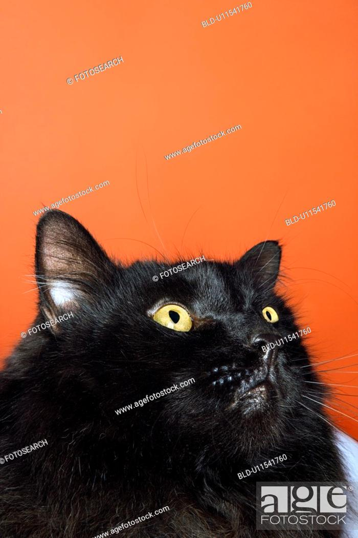 Stock Photo: Black long haired cat looking up.