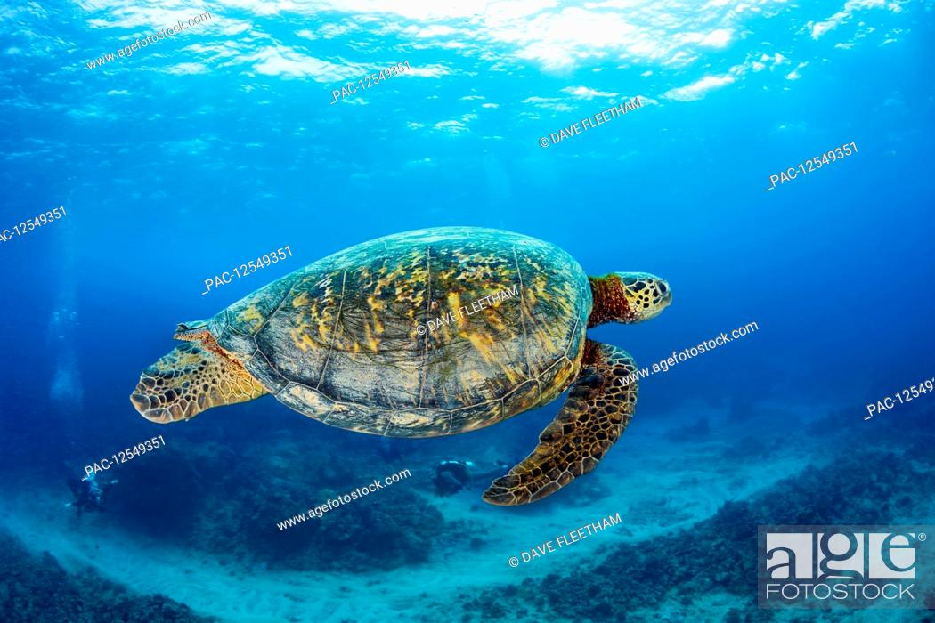 Stock Photo: Green sea turtle (Chelonia Midas) and divers; Hawaii, United States of America.
