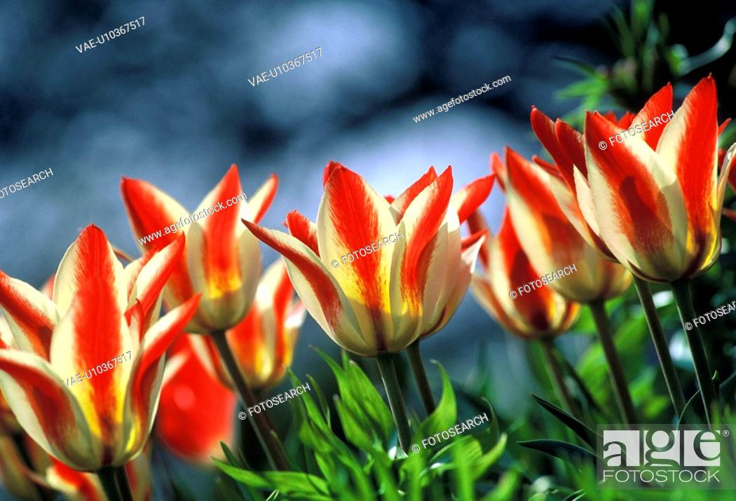 Stock Photo: bathe, before garden plant, botany, calf, colored, cut flower, flora.