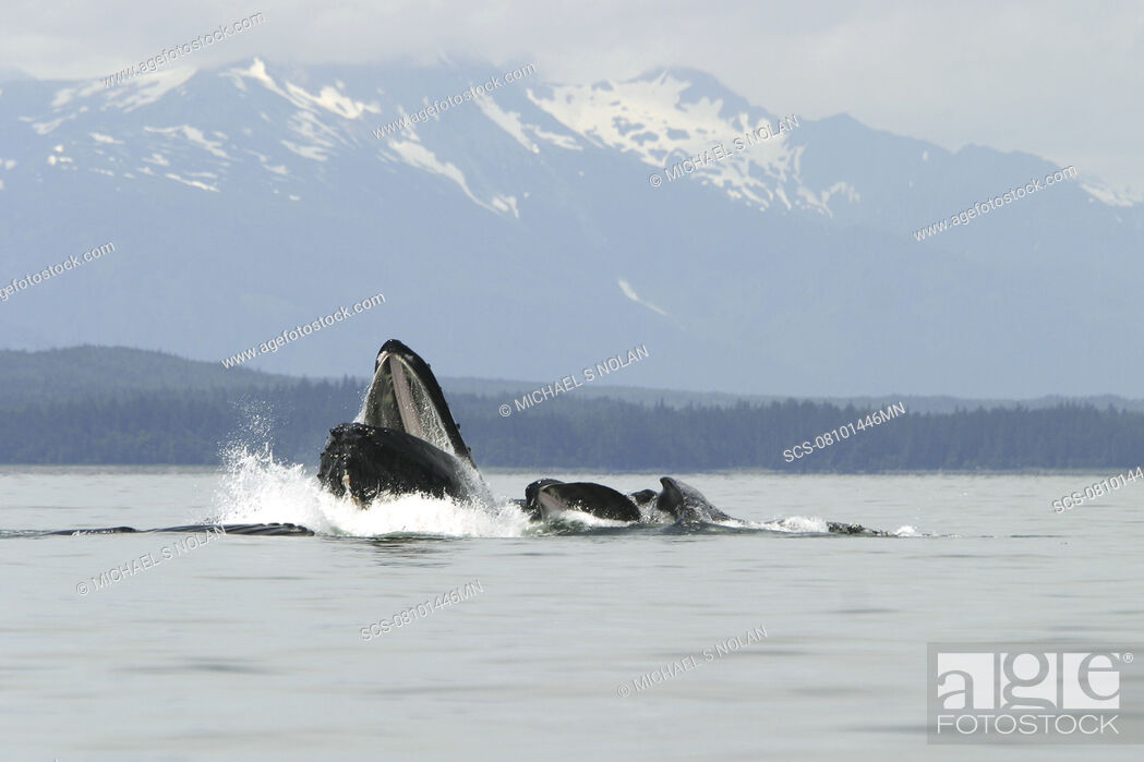 Stock Photo: Humpback Whales Megaptera novaeangliae co-operatively bubble-net feeding in Stephen's Passage, Southeast Alaska, USA Pacific Ocean.