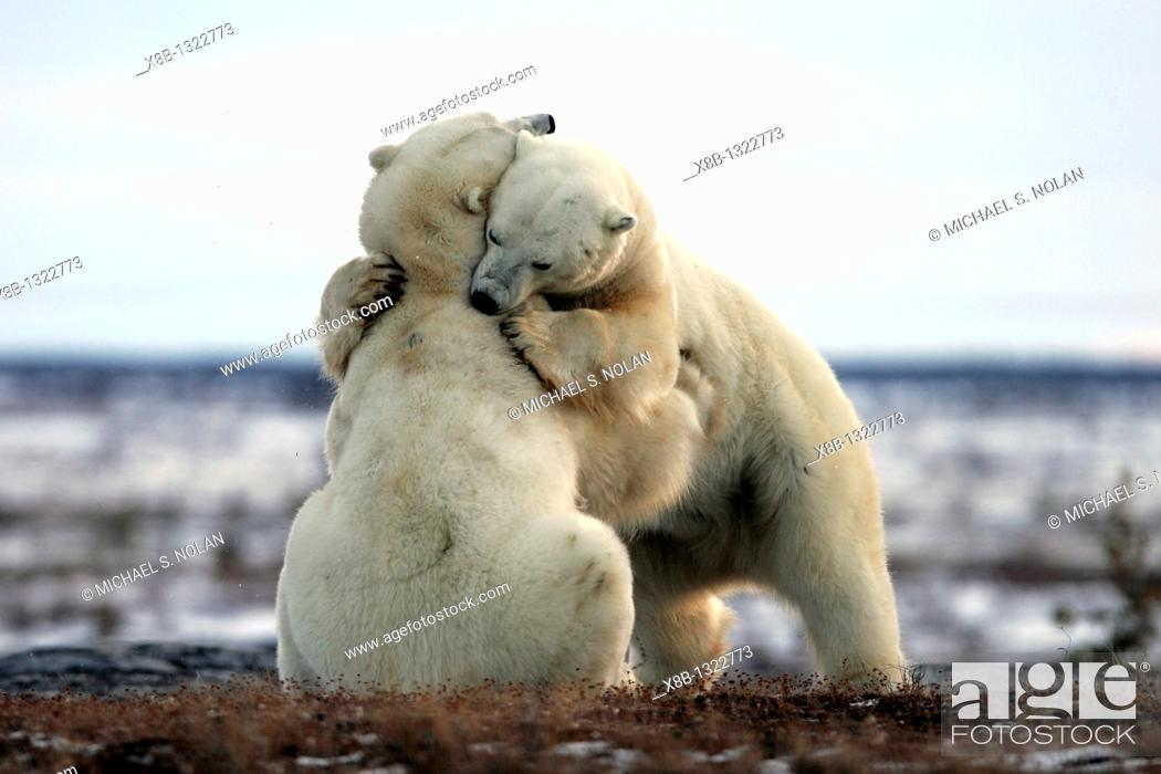 Stock Photo: Adult male Polar Bears Ursus maritimus in ritualistic fighting stance injuries are rare near Churchill, Manitoba, Canada.