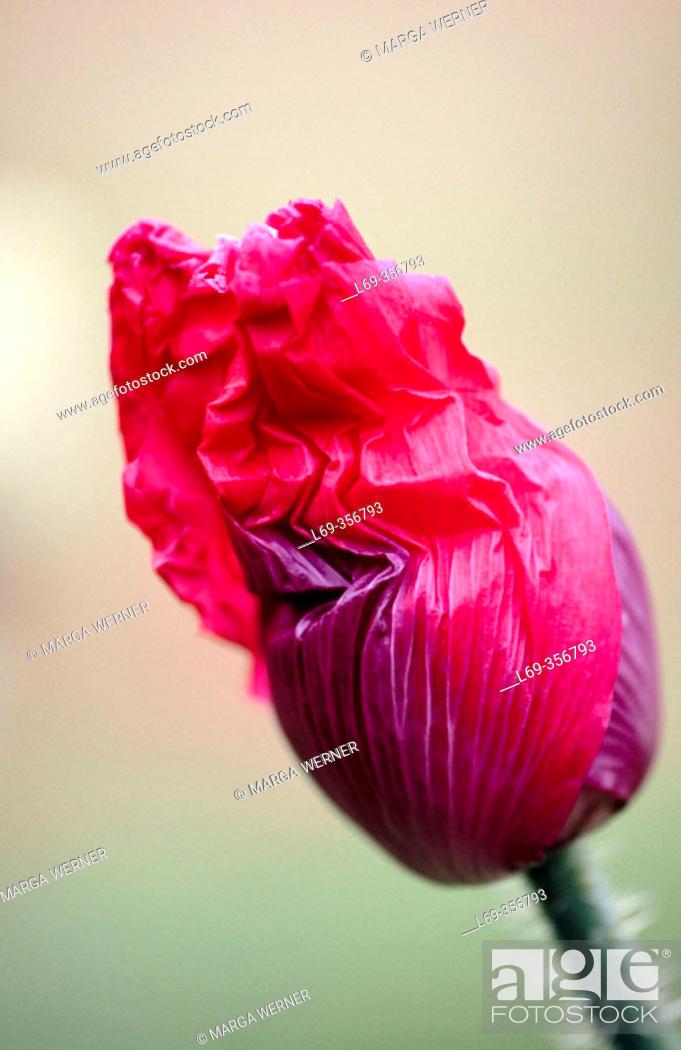 Stock Photo: Opium Poppy (Papaver somniferum), bud. Austria.