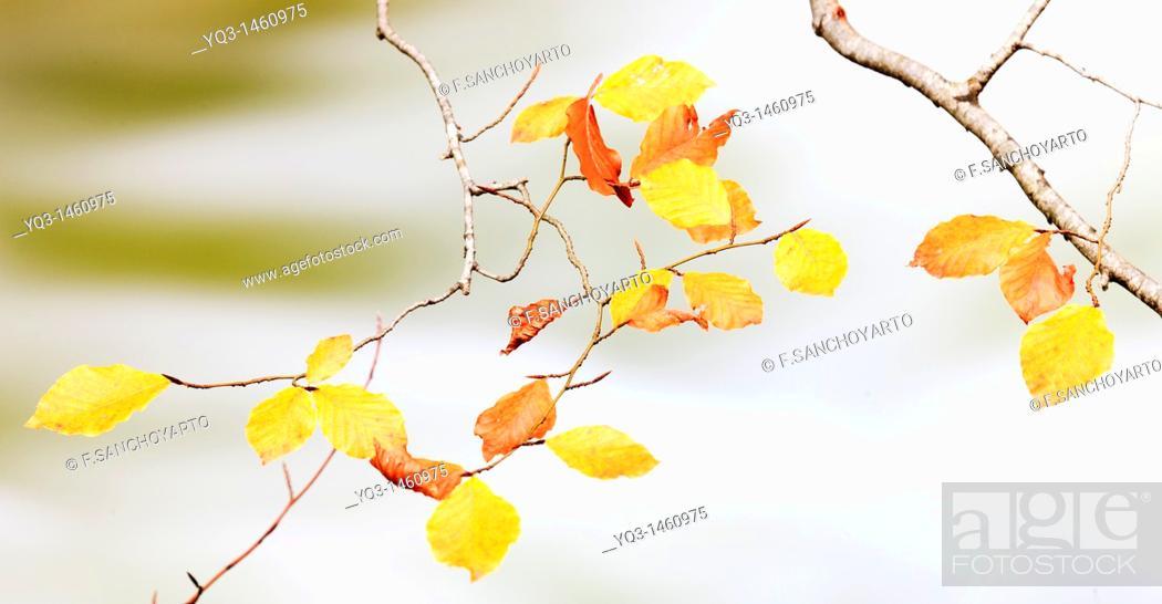 Stock Photo: Beech tree leaves in autumn, near Urederra river source in Urbasa, Navarra, Spain.