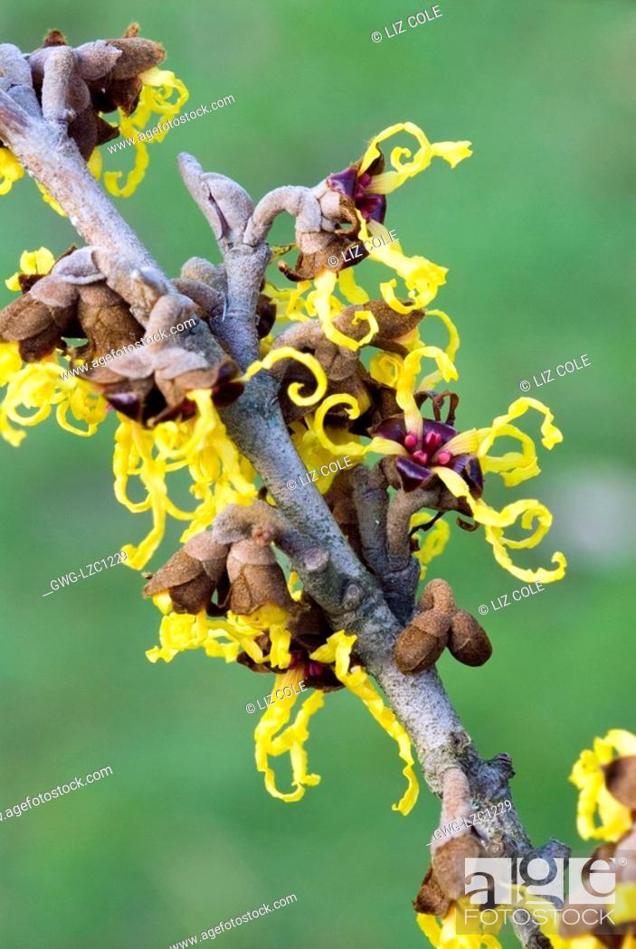 Hamamelis Japonica Arborea Japanese Witch Hazel Stock Photo